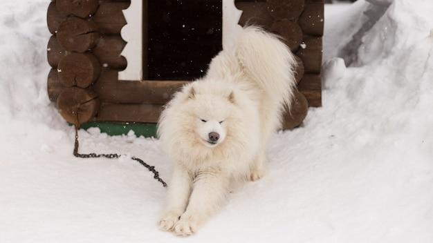 Lanuginoso cane bianco nella neve