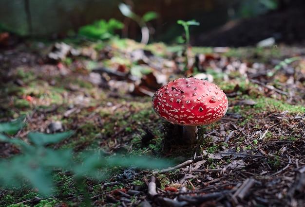 Fly-agaric su un substrato forestale di muschio e aghi sotto i raggi del sole autunnale. foresta del nord, tempo d'autunno. primo piano con copia spazio