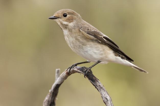Pigliamosche uccello appollaiato su un ramo con uno sfondo sfocato