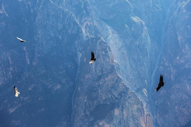 Condor volante nel canyon del colca, perù