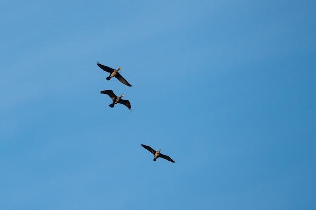Cormorani volanti contro il cielo blu