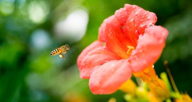 Flying honey bee raccogliendo polline dal fiore d'arancio con la luce del sole della stagione primaverile
