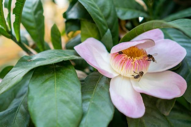 Ape del miele in volo verso il fiore rosa.