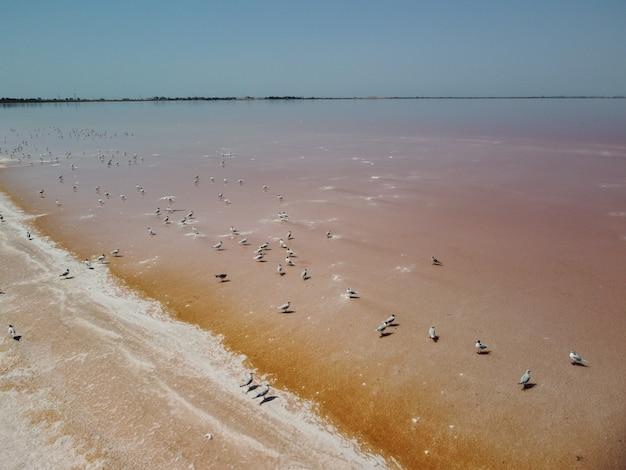 Volando sopra i gabbiani nello stagno di evaporazione salina degli impianti di produzione del sale del lago salato rosa in salty
