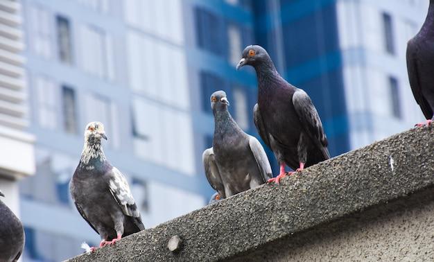 Il fuoco dei piccioni si aggrappa al pavimento del cemento in città con il fondo della città