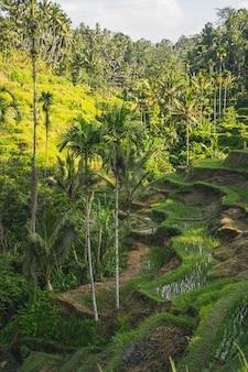 Foto focalizzata sulle terrazze di riso che stanno in primo piano e le palme tra i campi