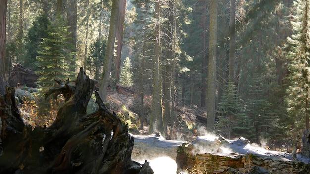 Nebbia che si alza nella foresta di sequoia, tronco d'albero caduto di sequoia, legno secolare. mattina nebbiosa california