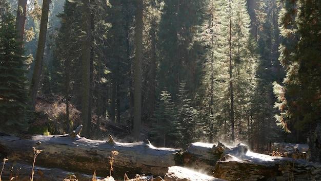 Nebbia che sale nella foresta di sequoie, tronchi di sequoia caduti nel bosco secolare. mattinata nebbiosa nel bosco di conifere, parco nazionale della california settentrionale, stati uniti d'america. grandi pini sradicati, foschia alla luce del sole.