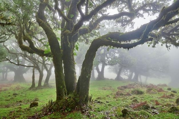 Foresta nebbiosa a madeira, in portogallo