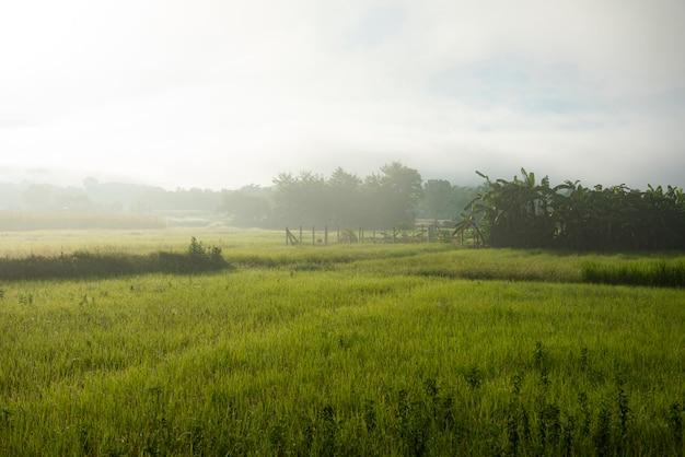 Paesaggio nebbioso sul campo verde al mattino, natura nebbiosa bella nella soleggiata vista nebbiosa nella fattoria agricola asia