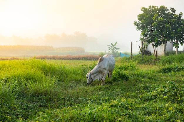 Paesaggio nebbioso sul campo verde al mattino, natura nebbiosa bella nella soleggiata vista nebbiosa e mucche in campo pascolo mucca in campagna