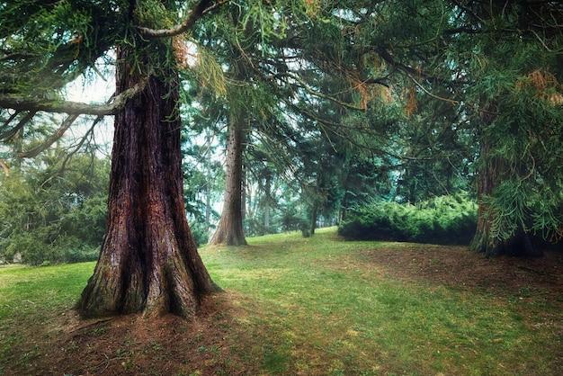 Foresta di pini nebbiosa, nebbia primaverile, umore mattutino.