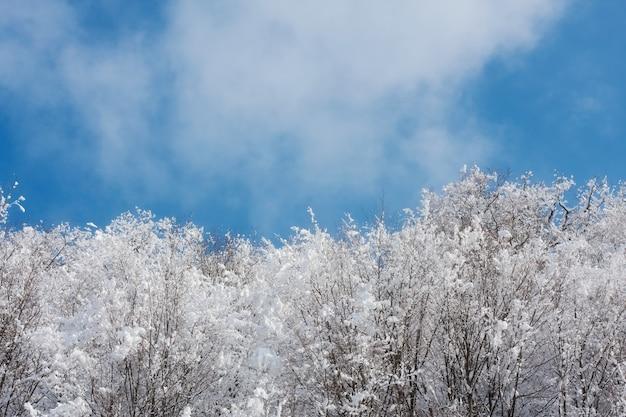 Foresta del fogliame coperta da neve all'inverno