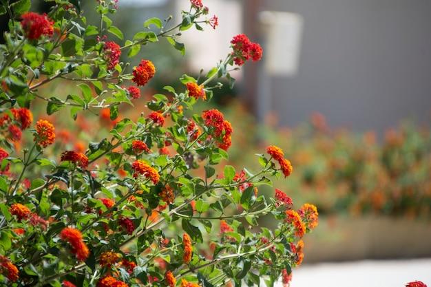 Fogliame con fiore rosso di piante mediterranee siciliane