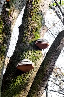 Fomes fomentarius (comunemente noto come il fungo esca) sul tronco d'albero vivo nella foresta di autunno
