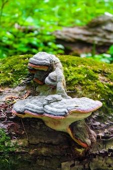 Pinom di fomitopsis o conk della cintura rossa sul tronco caduto