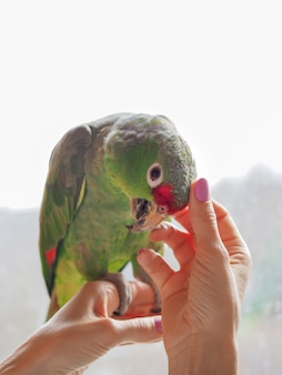 Accarezzò il pappagallo seduto sulla mano. animale preferito, cura e cura del concetto.