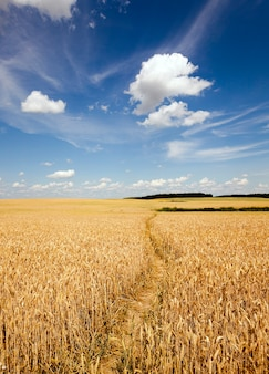 Sentiero nel campo - il piccolo sentiero calpestato in un campo agricolo