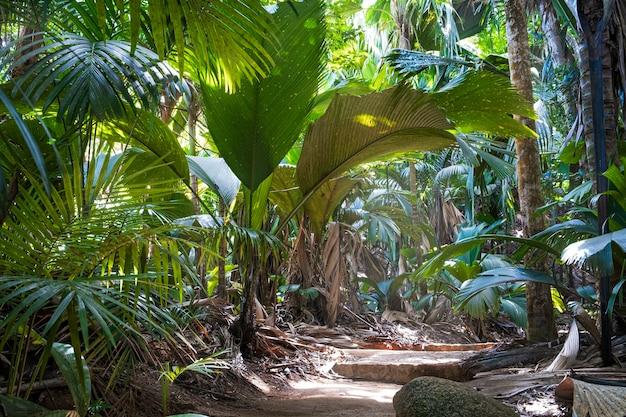 Sentiero nella foresta pluviale tropicale. la foresta di palme della vallee de mai ( may valley) orgoglio nazionale delle seychelles, isola di praslin