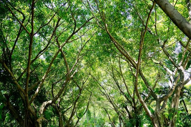 Foresta, grande albero, natura sfondo, foglie verdi, albero sfondo per il desktop