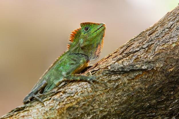 Lucertola di drago della foresta sull'albero