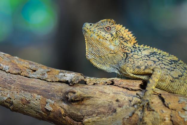 Lucertola di drago della foresta sui ramoscelli in giardino tropicale