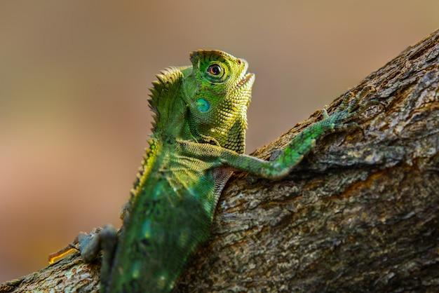 Lucertola di drago di foresta sui ramoscelli