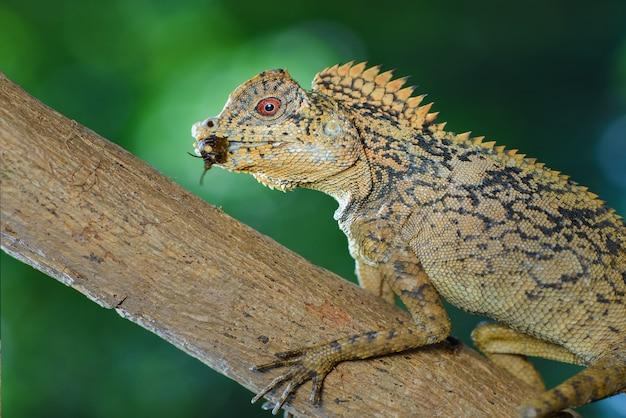 Forest dragon su un ramo del giardino tropicale