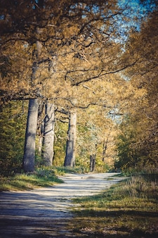 Paesaggio forestale - strada sterrata, tre alte querce secolari, il filtro