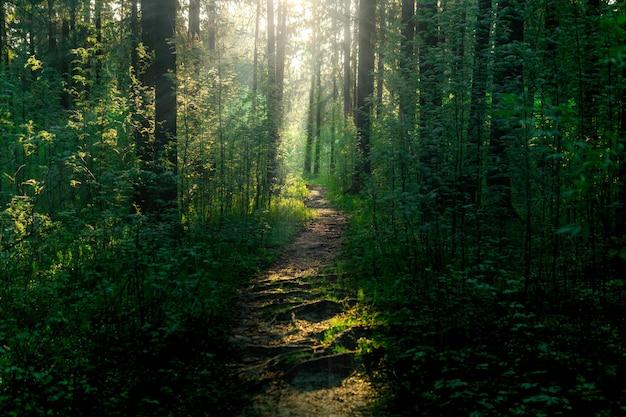 Sentiero del paesaggio forestale nel bosco con raggi di sole