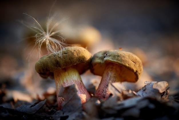 Funghi della foresta al primo piano di luce solare.