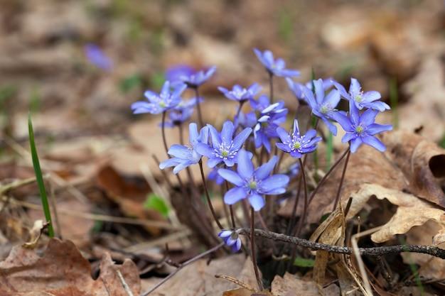 Piante forestali in primavera nella foresta, i primi fiori blu della foresta nella stagione primaverile