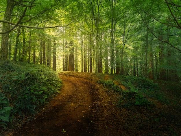 Foresta di sequoie del monte cabezón, santander, spagna.