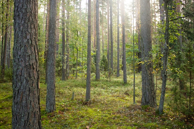 Alberi forestali illuminati dalla luce del sole. radura della foresta.