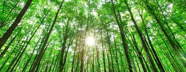 Alberi della foresta. natura verde legno sfondo del sole