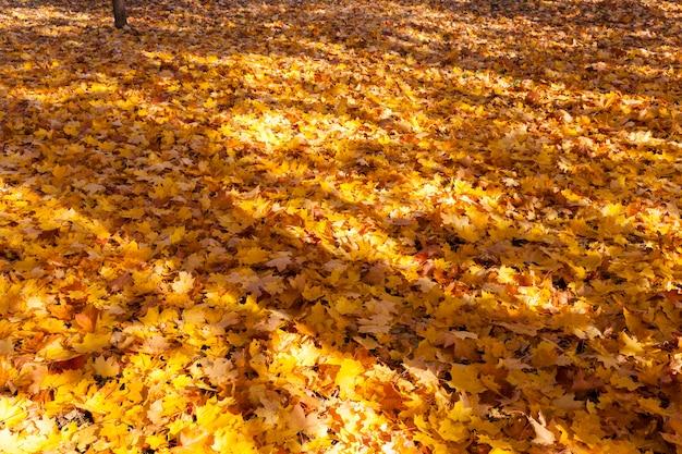 Foresta con foglie cadute a terra, aceri crescono intorno, passeggia nel parco durante la stagione calda