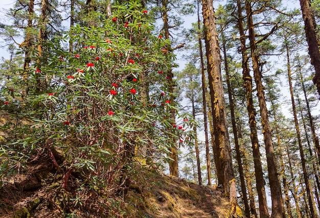 Foresta con alberi secolari e rododendri in fiore nel lantang, nepal. himalaya