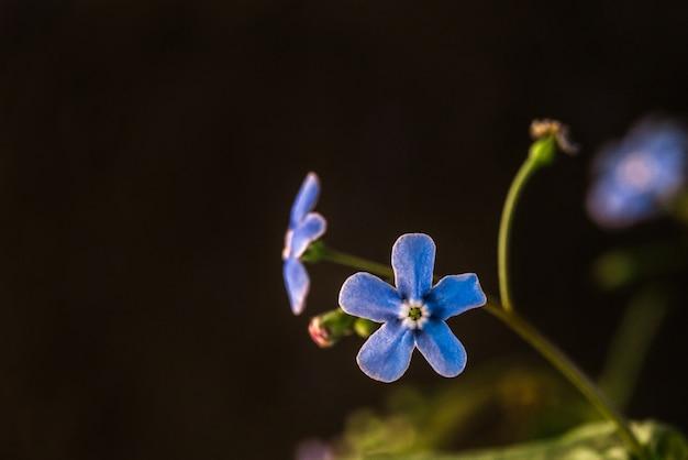 Fiore blu del nontiscordardime da vicino su oscurità