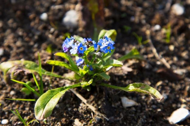 Non ti scordar di me fiori, myosotis, piccoli fiori blu, famiglia boraginaceae