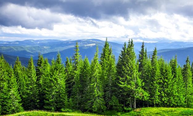 Foresta di pini verdi in montagna