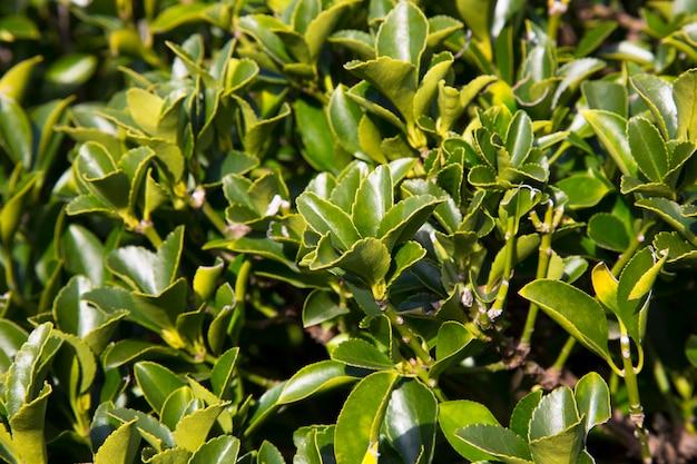 Il fuso della fortuna euonymus fortunei è una specie di pianta da fiore della famiglia delle celastraceae originaria dell'asia orientale, tra cui cina, corea, filippine e giappone.