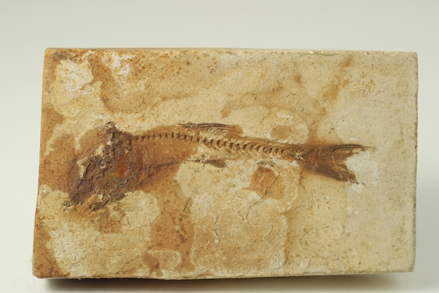 Pesci fossili nella roccia.