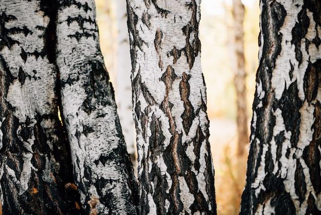Primo piano di quattro tronchi di betulle al sole.