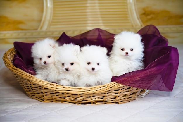 Quattro simpatici cuccioli di spitz bianco di pomerania in una cartolina di cesto
