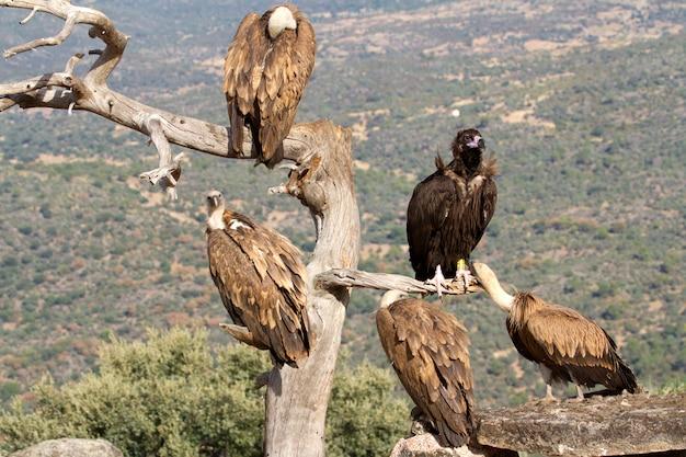 Quattro avvoltoi e un avvoltoio nero