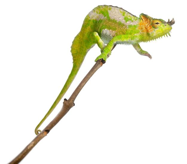 Camaleonte a quattro corna - chamaeleo quadricornis nella parte superiore di un ramo