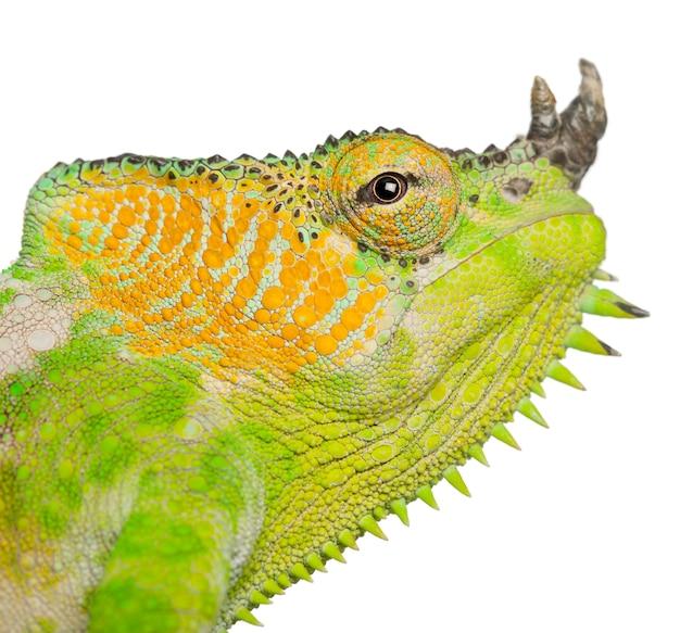 Camaleonte a quattro corna - chamaeleo quadricornis