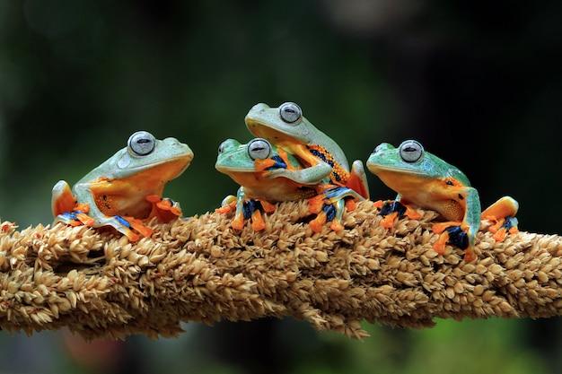 Quattro rana di albero di giava seduto sul ramo