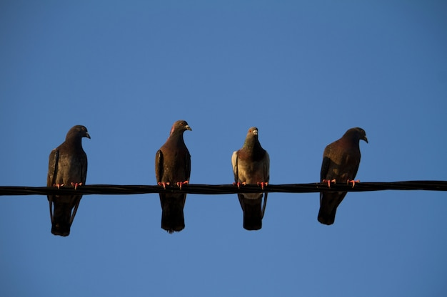 Quattro piccioni su un filo