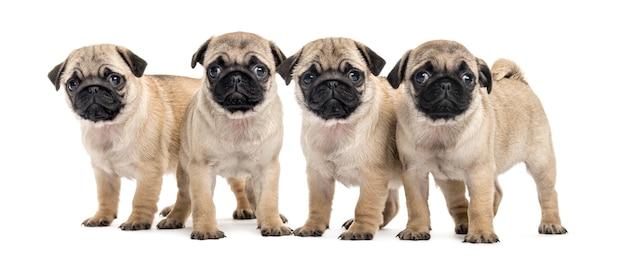 Quattro cuccioli del pug, isolati su bianco